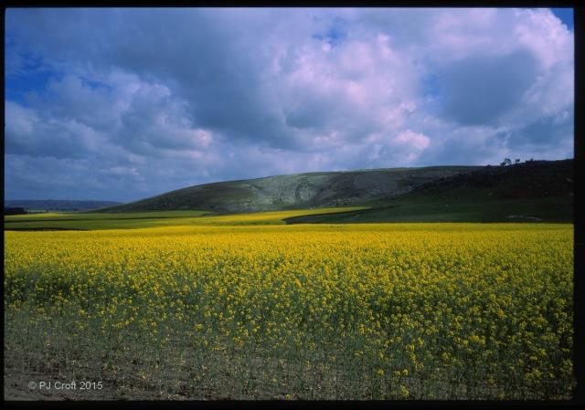 Canola hill fr15-16