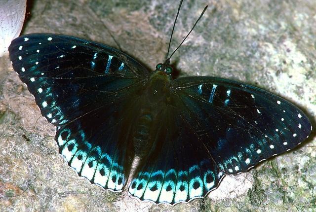 Blue butterfly 84