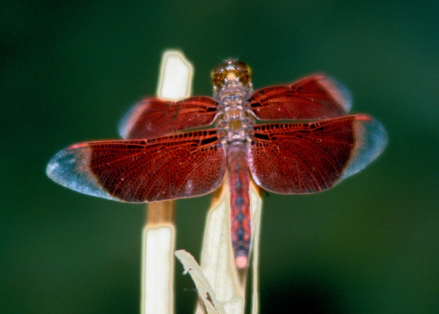 Red dragonfly 50