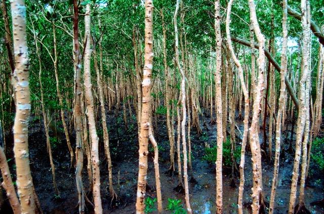 Mangroves G136