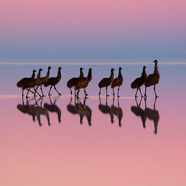 Emus on pink
